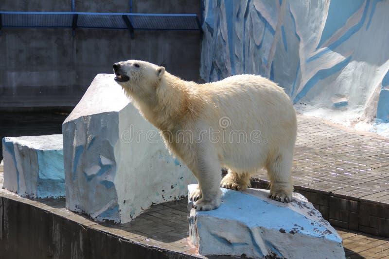 NOVOSIBIRSK RYSSLAND JULI 7, 2016: Isbjörnar på zoo arkivfoton