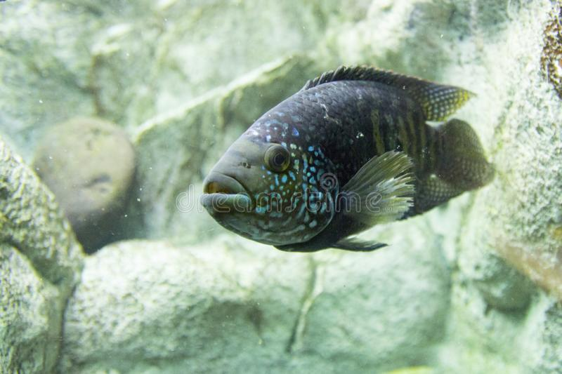 Novosibirsk Zoological Park. Aquarium with fish and plants. stock image