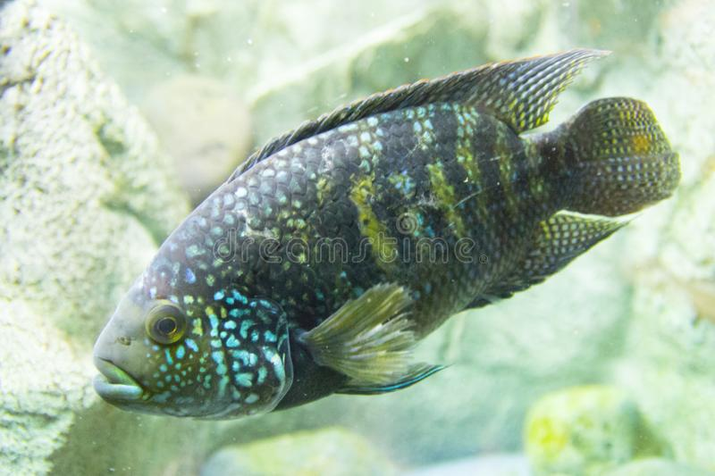 Novosibirsk Zoological Park. Aquarium with fish and plants. royalty free stock image