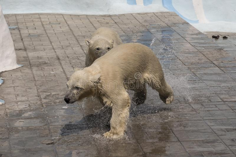 Novosibirsk Zoological Park. Polar bear at the zoo. royalty free stock images