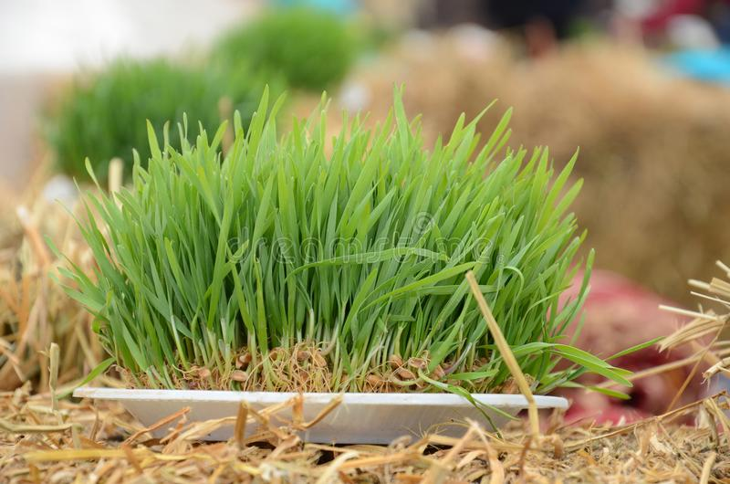 A seminal siege on a red ribbon on a dry grass. Novruz national Azerbaijan holiday spring new year celebration concept, wheat grass semeni . A seminal siege on a royalty free stock images