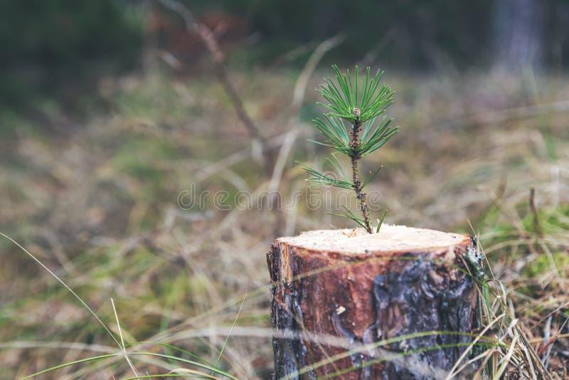 nowa życie siła i rozwoju pojęcie - młody sosny flancy dorośnięcie od drzewnego fiszorka zdjęcia stock