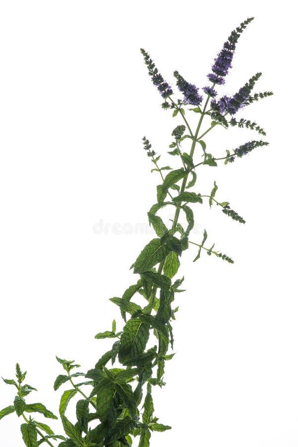 Nowa gałąź z liśćmi i kwiatami odizolowywającymi na białym tle zdjęcie stock