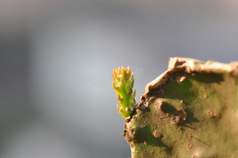 Nowa kaktus flanca obraz royalty free