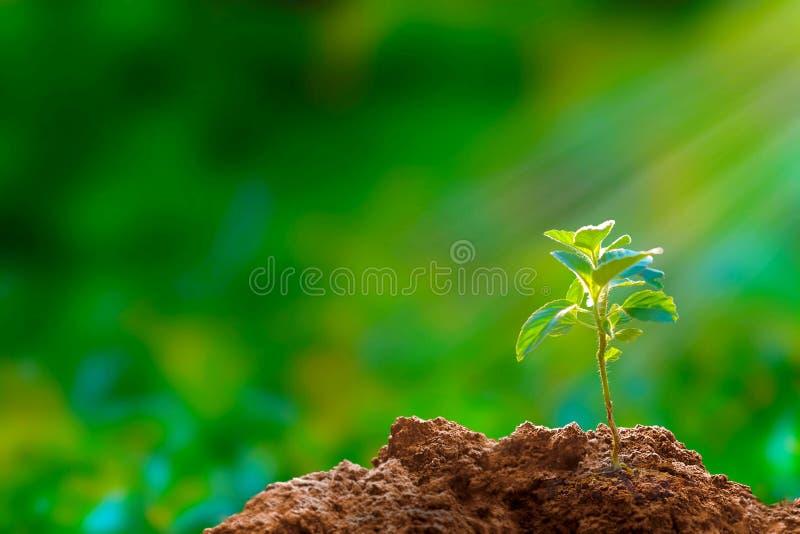 Nowa nadzieja: drzewna rozsada obraz royalty free