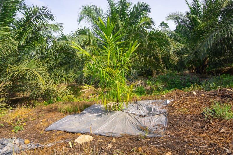 Nowa nafciana palma zasadzająca zdjęcia royalty free
