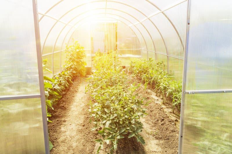 Nowa nowożytna mała szklarnia przy ogródem w lecie szklarnia zasadza rz?dy pomidorowych obraz stock