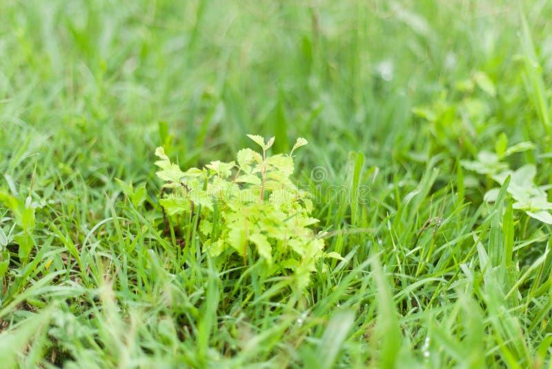 Nowa roślina z zielonymi i perfumowymi liśćmi na wiosna dniu obrazy royalty free