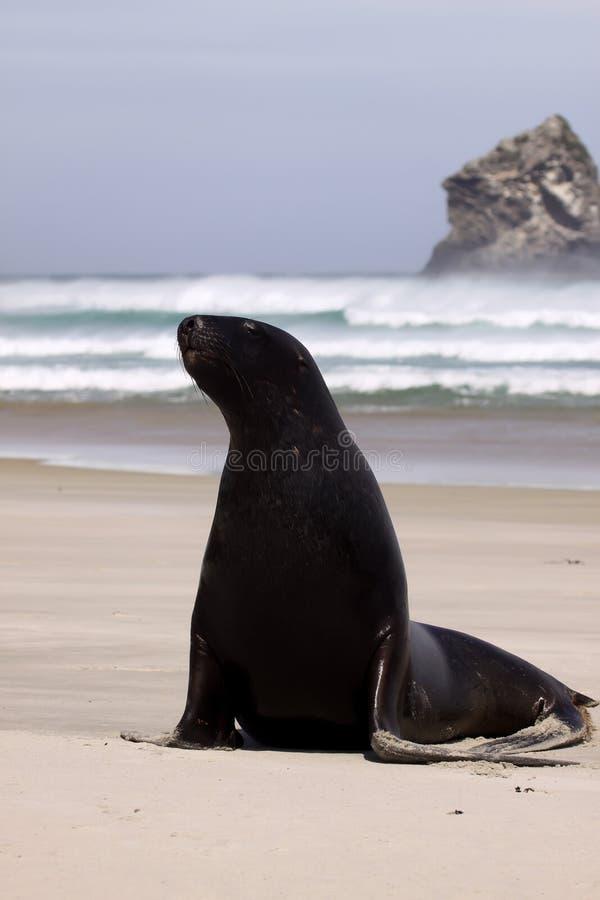 Nowa Zelandia Denny lew, Phocarctos dziwka, rozciąga na piaskowatej plaży, Południowa wyspa Nowa Zelandia fotografia royalty free