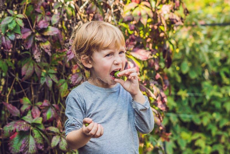 Nowa Zelandia egzota jedzenie Jagodowy nergi lub mały kiwi, Dziecka picki zdjęcia royalty free