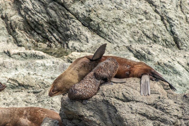 Nowa Zelandia futerkowej foki ciuci piel?gnacja na ska?ach przy przyl?dkiem Palliser zdjęcia royalty free