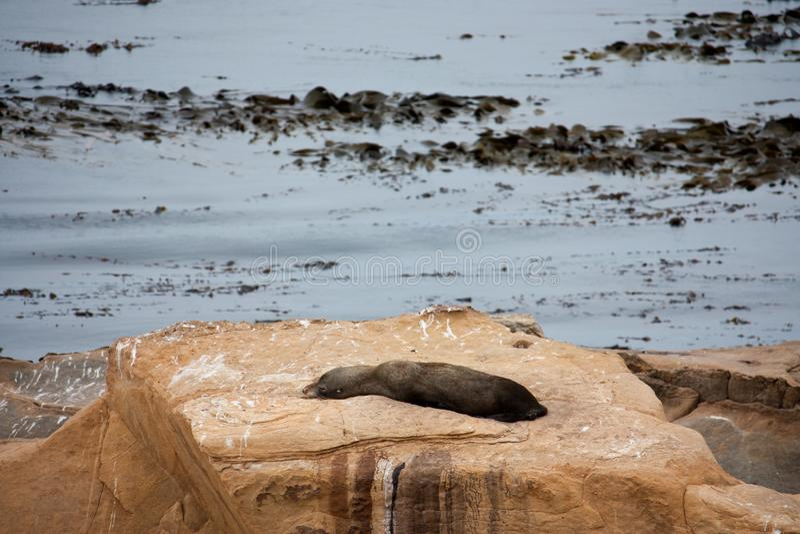 Nowa Zelandia Futerkowej foki, Kekeno lying on the beach na skale w kudły punkcie/, morze w tle w Catlins w Południowej wyspie w  zdjęcie royalty free