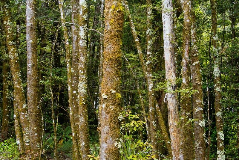 Nowa Zelandia, lasu tropikalnego Fantail spadki fotografia royalty free