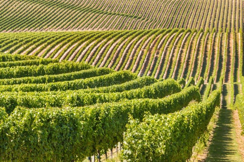 Nowa Zelandia winnica na tocznych wzgórzach fotografia royalty free
