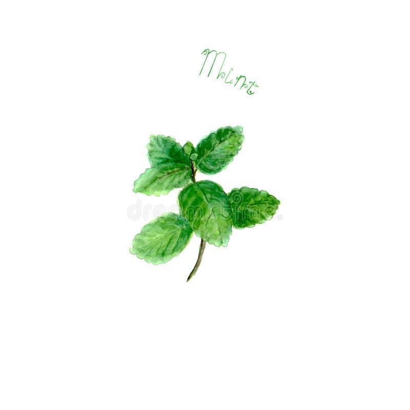 Nowa zielarska pikantność odizolowywająca na białym tle fotografia stock
