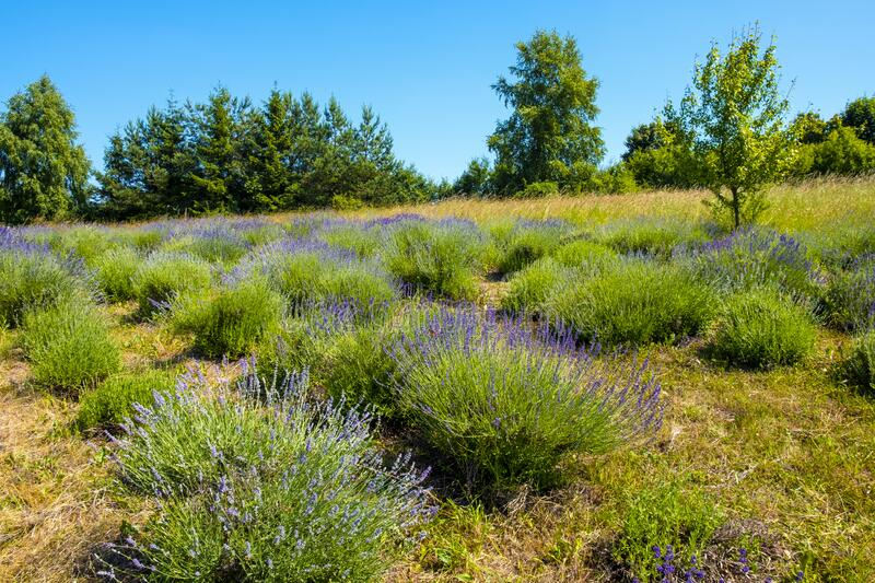 Nowe Kawkowo, Poland - Lavender plans in spring blossom in the Lavender field open air museum of lavender farming and processing. Nowe Kawkowo, Warmian-Masurian royalty free stock photography