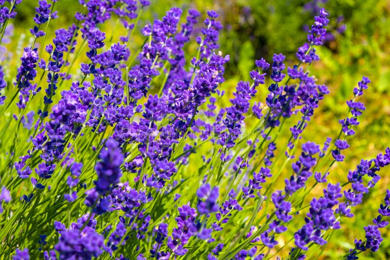 Nowe Kawkowo, Poland - Lavender plans in spring blossom in the Lavender field open air museum of lavender farming and processing. Nowe Kawkowo, Warmian-Masurian royalty free stock images
