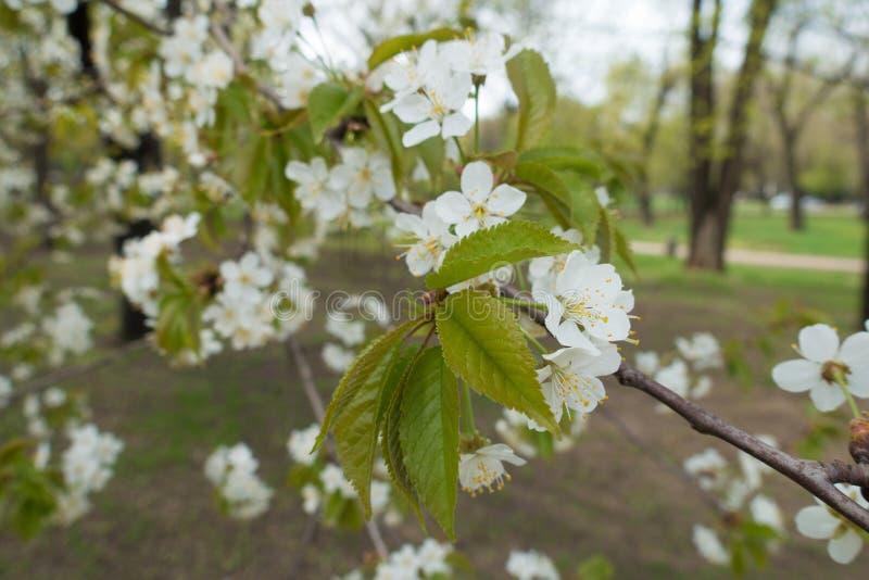 Nowi liście i biali kwiaty na gałąź wiśnia zdjęcie stock
