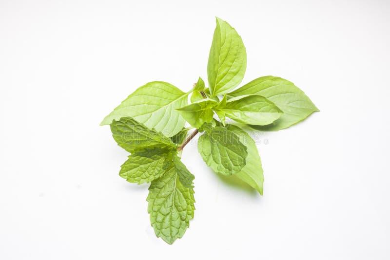 Nowi liście i Słodki basil odizolowywający zdjęcie stock