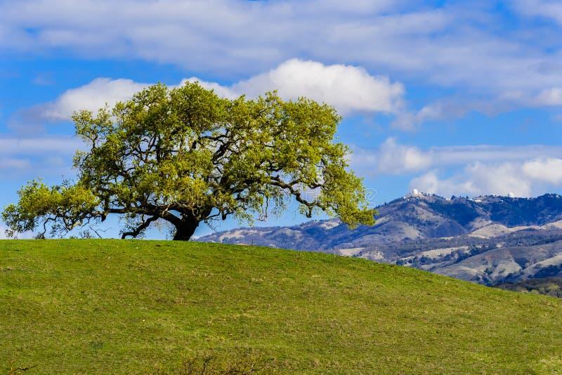Nowi liście r na gałąź dolinny dąb w wiośnie; (Quercus lobata) Mt Hamilton w tle, południowy San obraz royalty free
