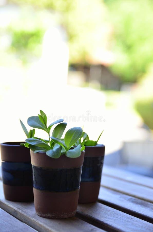 Nowi roślina krótkopędy w terakotowym garnku obraz royalty free