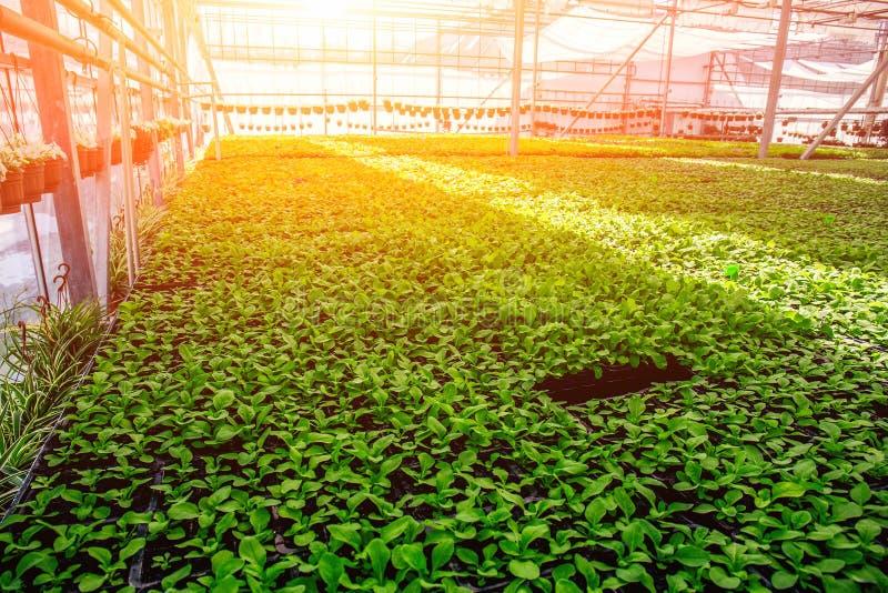 Nowożytna hydroponic szklarnia z klimatu systemem kontrolnym w świetle słonecznym, przemysłowy rolnictwo zdjęcie royalty free