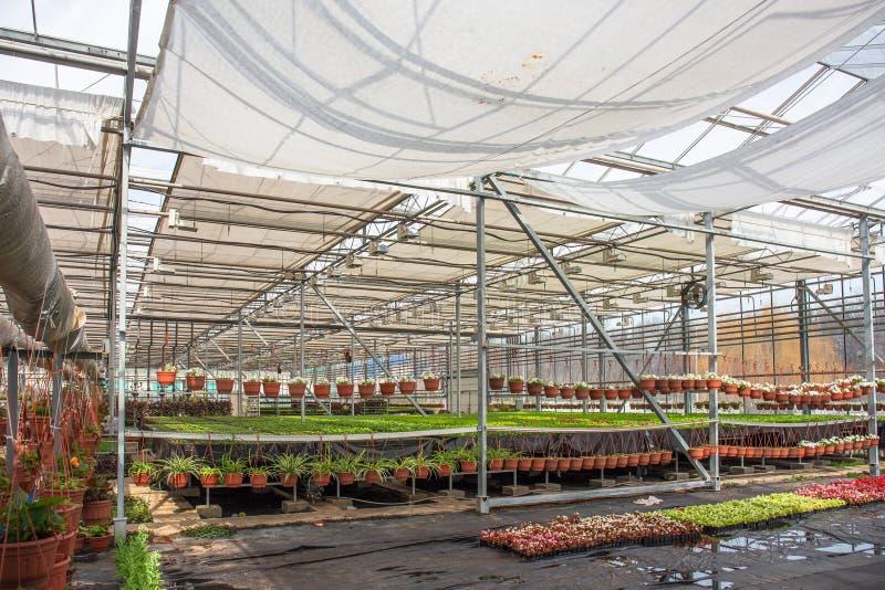 Nowożytna szklarniana pepiniera, glasshouse, przemysłowy horticulture, kultywacja rozsady ornamentacyjne rośliny lub kwiaty, obrazy stock