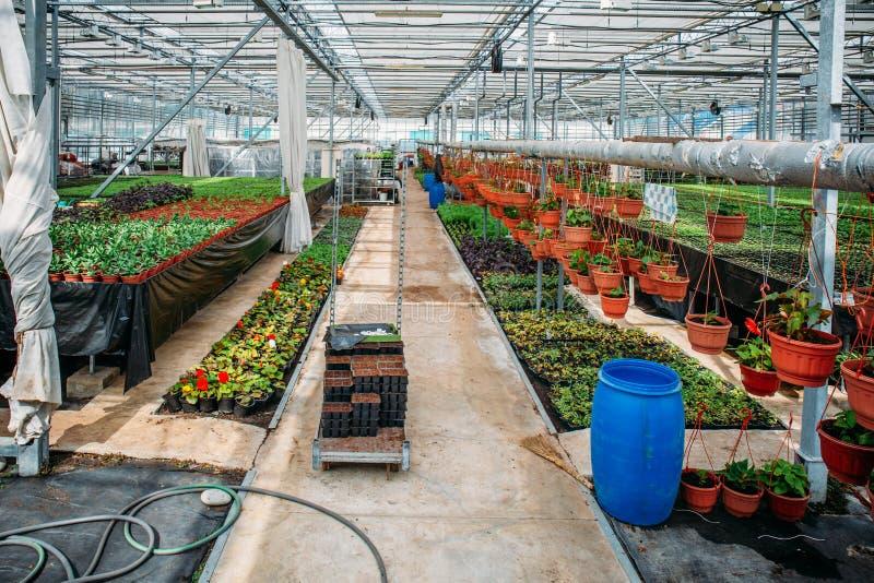 Nowożytna szklarniana pepiniera, glasshouse, przemysłowy horticulture, kultywacja rozsady ornamentacyjne rośliny lub kwiaty, zdjęcia stock