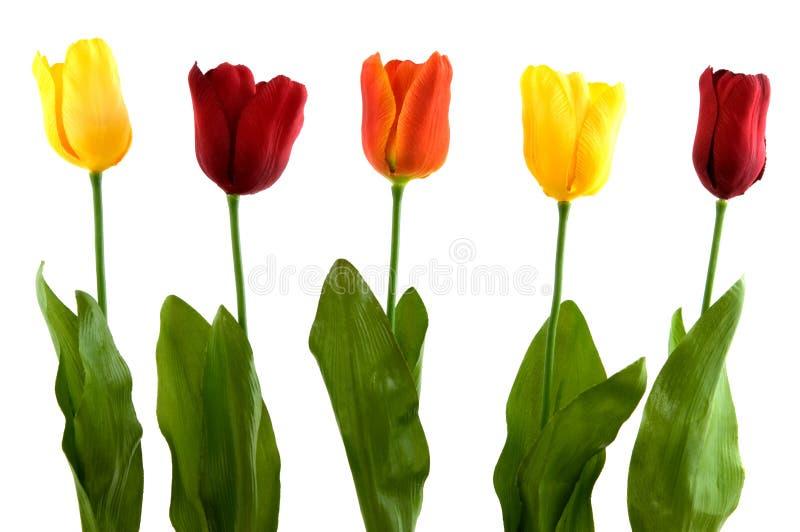 nowożytni jedwabniczy tulipany zdjęcie royalty free