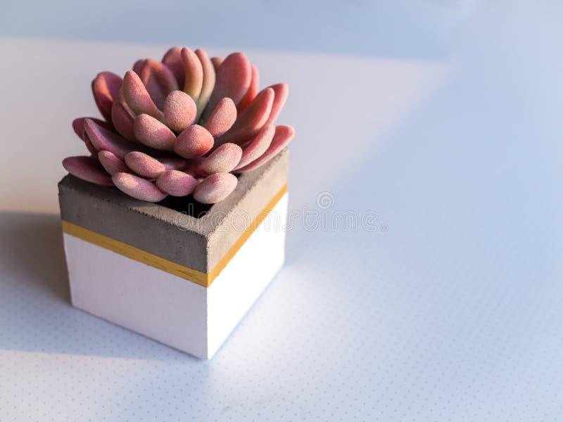 Nowożytny kubiczny betonowy plantator z różową tłustoszowatą rośliną Malujący betonowy garnek dla domowej dekoracji fotografia royalty free