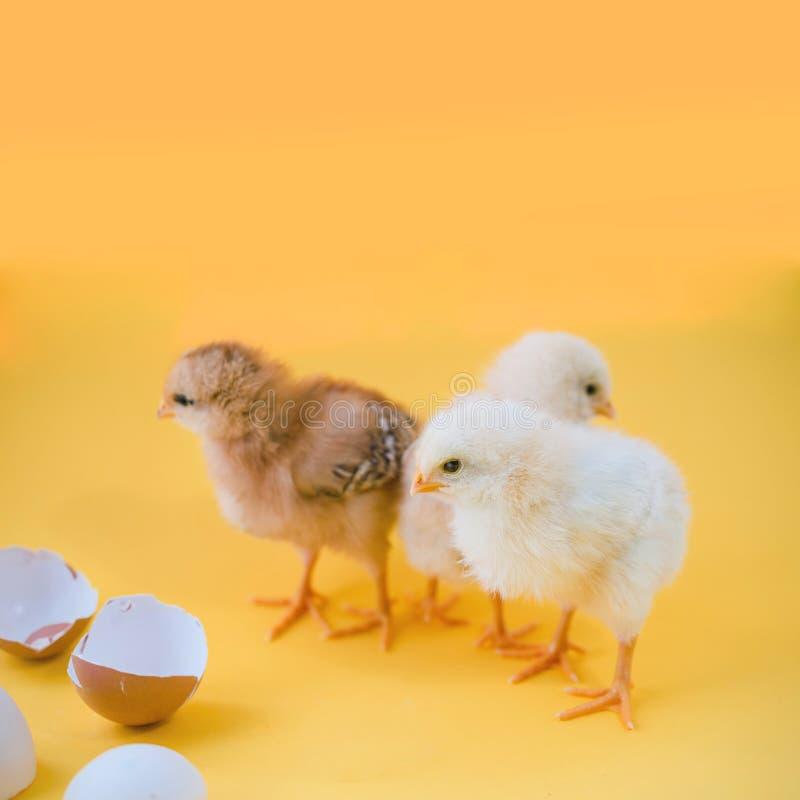 Nowonarodzeni żółci kurczaki i łamani jajka na żółtym tle obraz stock