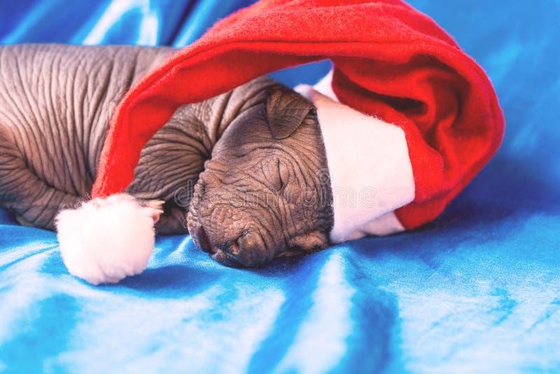 Nowonarodzeni psi Meksykańscy xoloitzcuintle szczeniaki, jeden tydzień stary, dosypianie na błękitnej kapitałce w Bożenarodzeniow zdjęcia royalty free