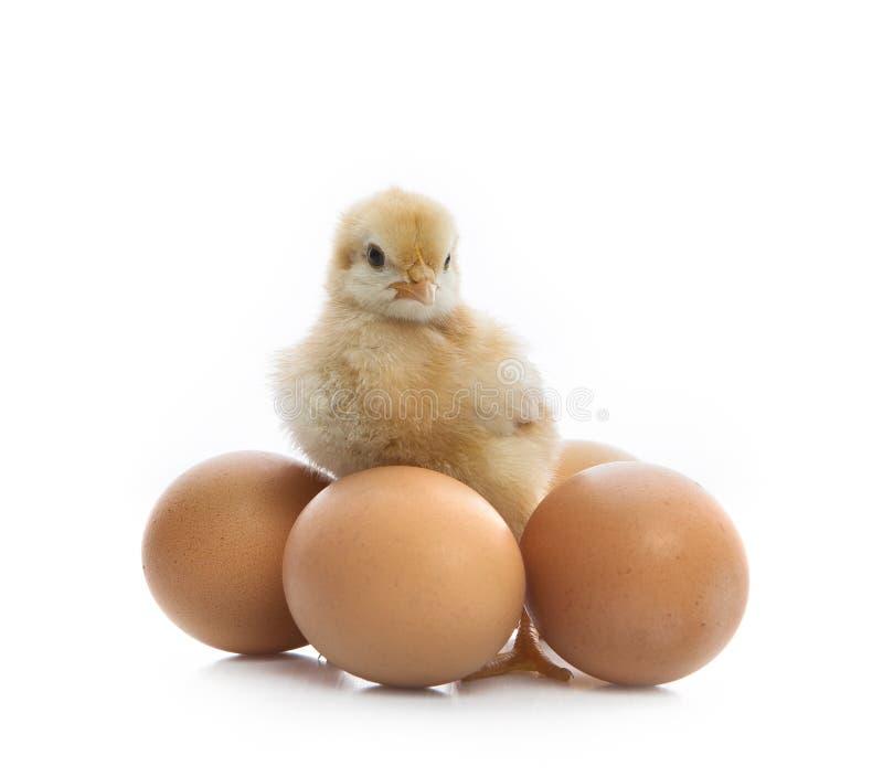 Nowonarodzona żółta pisklęca pozycja obok jajek obraz stock