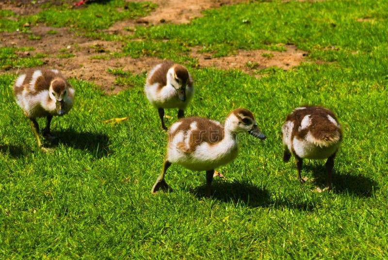 Nowonarodzona dziecko kaczka bawi? si? w parku fotografia stock