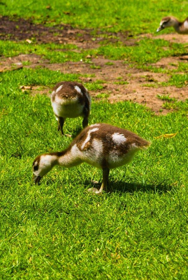 Nowonarodzona dziecko kaczka bawi? si? w parku obraz royalty free
