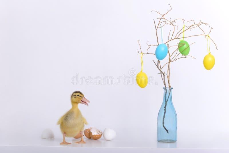 Nowonarodzona kaczątka, jajek skorupa i obrazy royalty free