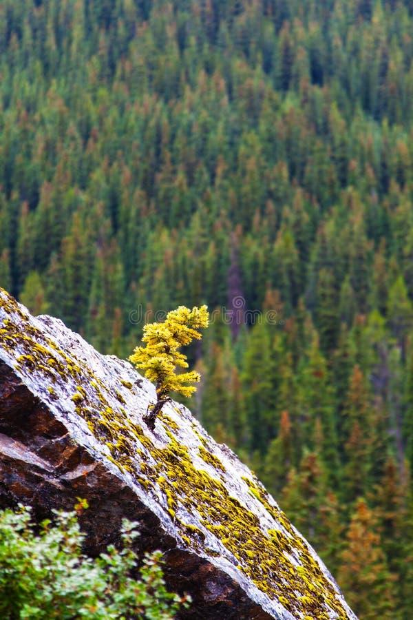 Nowonarodzony Świerkowy Drzewny dorośnięcie w Twardych miejscach zdjęcie stock