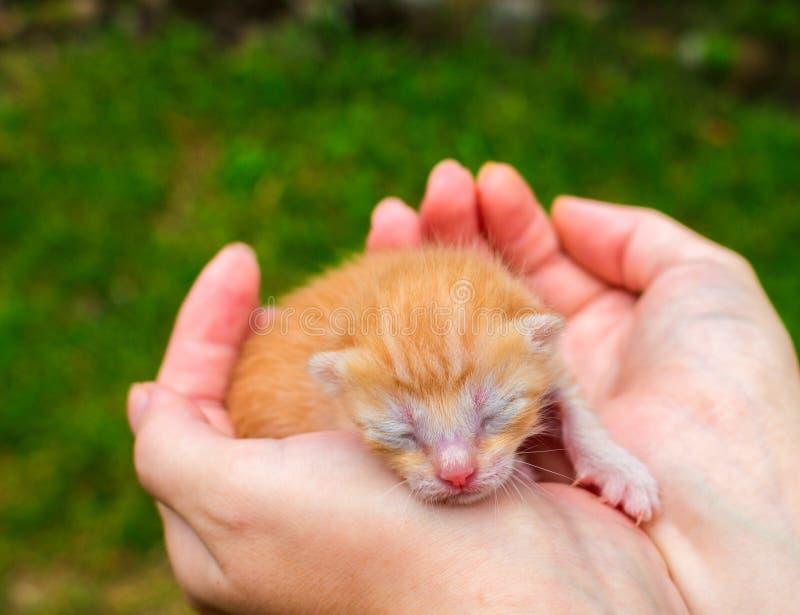 Nowonarodzony dziecko kot Czerwona kiciunia w czułości rękach Śliczny kota zakończenia fot zdjęcia royalty free