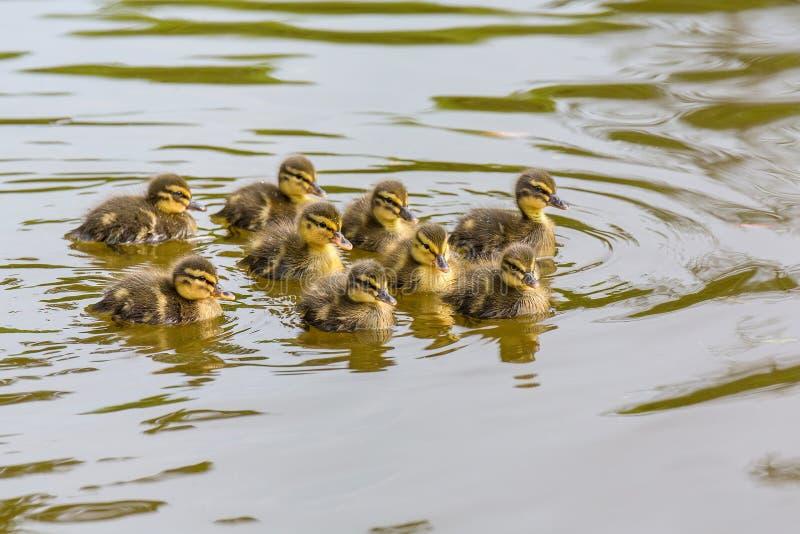 Nowonarodzony dziki kaczątka pływanie w wodzie fotografia royalty free