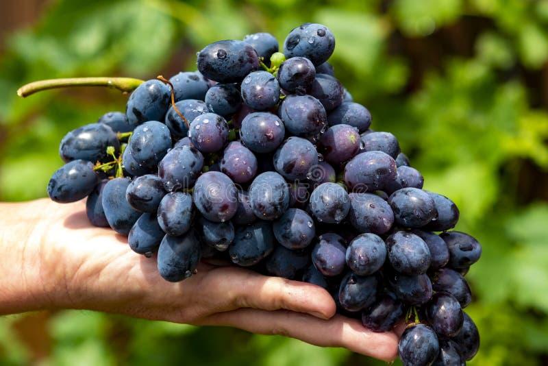 Nowy żniwo błękitny, purpury, czerwone wino lub stołowy winogrono, ręka trzyma wiązkę dojrzali winogrona na zielonym gronowym roś zdjęcie royalty free