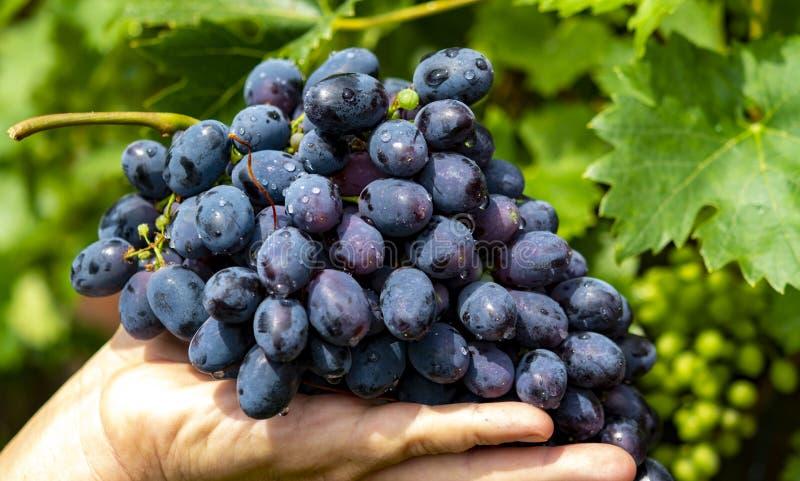 Nowy żniwo błękitny, purpury, czerwone wino lub stołowy winogrono, ręka trzyma wiązkę dojrzali winogrona na zielonym gronowym roś fotografia royalty free