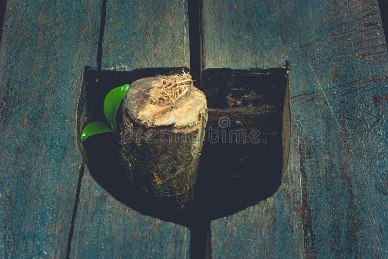 Nowy życia i pomysłu pojęcie: Zielony kiełkowy drzewny dorośnięcie od drzewnego fiszorka w rocznika stylu zdjęcie stock