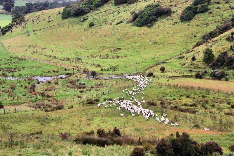 nowy barani Zealand zdjęcie royalty free