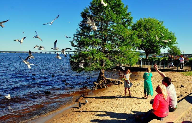 Nowy Bern, NC: Rodzinni Żywieniowi Seagulls fotografia royalty free