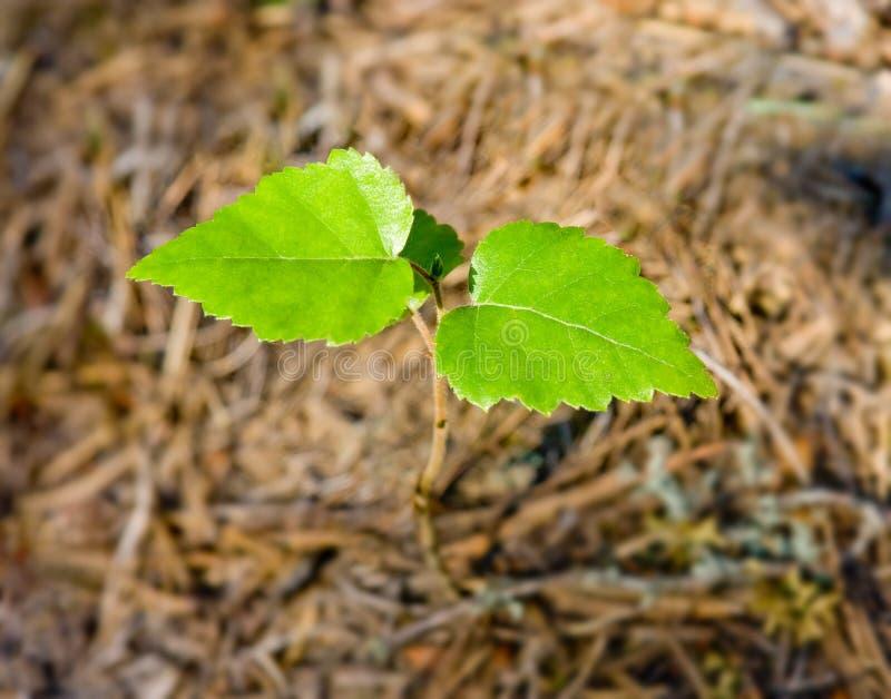 nowy brzozy drzewo obraz stock