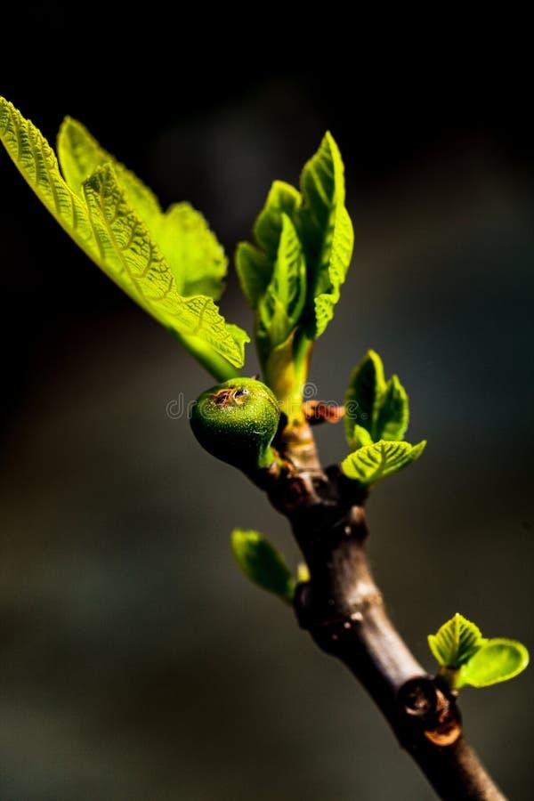Nowy figa pączek, liść i zdjęcie royalty free