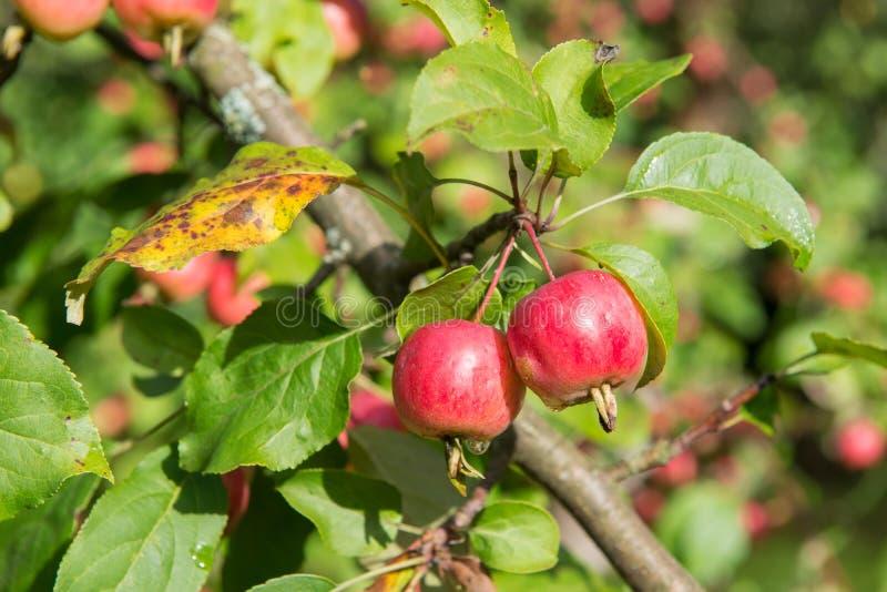 Nowy jabłczany żniwo zdjęcie stock