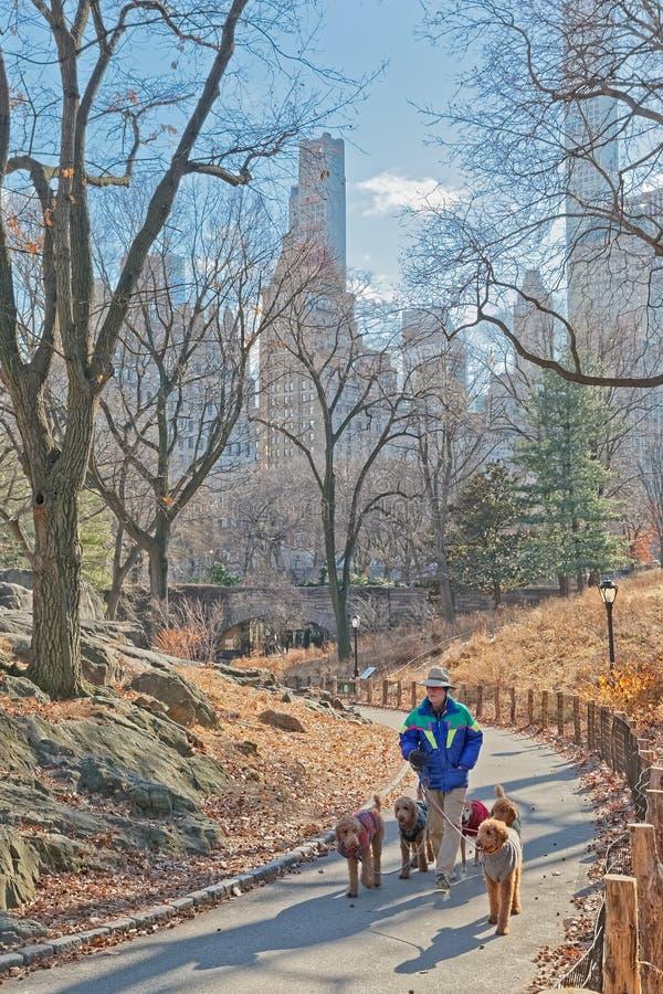 Nowy Jork central park psi piechur w zima czasie zdjęcia royalty free