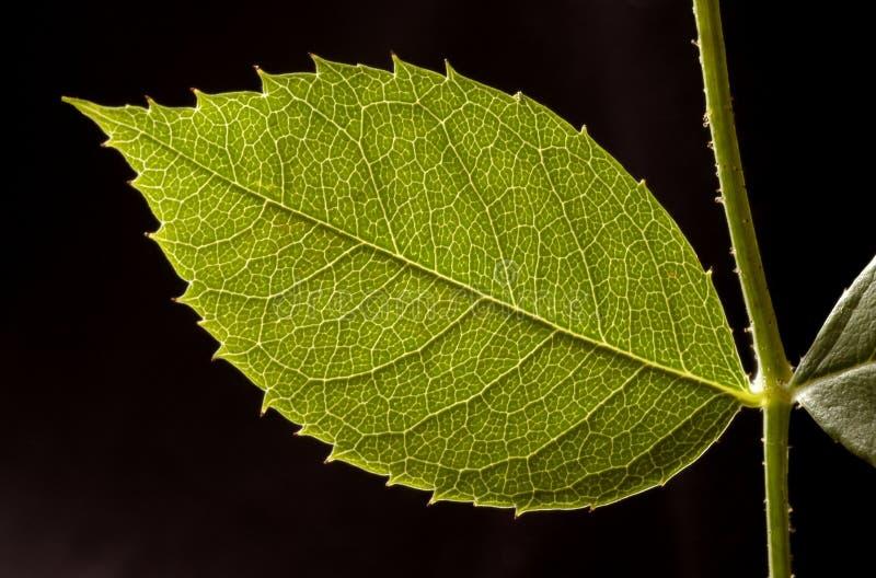 nowy liści, obraz stock
