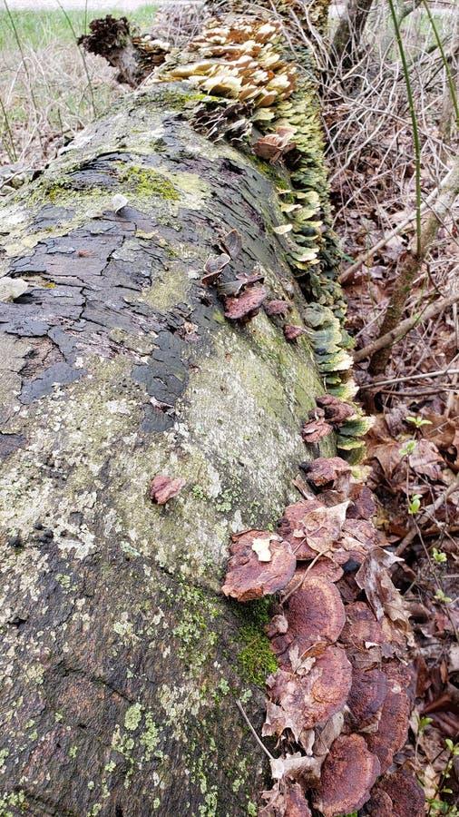 Nowy Początkujący grzyb obraz stock